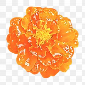 Perennial Plant Tagetes - Floral Flower Background PNG