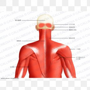 Neck Muscle - Muscle Posterior Triangle Of The Neck Head And Neck Anatomy Human Body Trapezius PNG