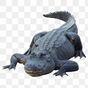 Crocodile - Alligator Crocodile PNG