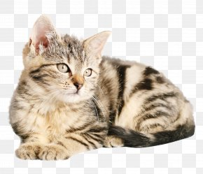 Cat - Tabby Cat Kitten Dog Popular Cat Names PNG