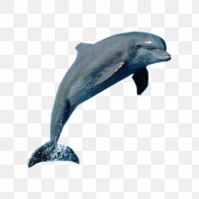 Dolphin Show - La Plata Dolphin Killer Whale Cetacea PNG