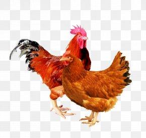 Rooster New Hampshire Chicken Rhode Island Red Sussex Chicken Leghorn Chicken PNG
