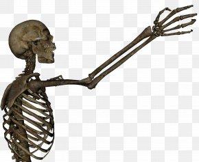 Skeleton - Human Skeleton Arm Skull Anatomy Clip Art PNG