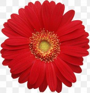 Red Gerber Daisy Clipart - Transvaal Daisy Common Daisy Clip Art PNG