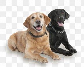 Pet Dog - Labrador Retriever Dog Breed Companion Dog Yardley Animal Kennels Inc Pet PNG