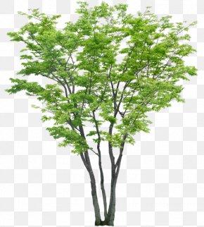 Tree - Tree Shrub PNG