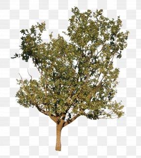 Oak Trees - Twig Plane Trees Shrub Plane Tree Family PNG