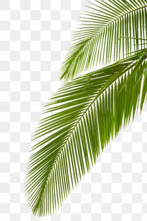 Palm Leaf - Arecaceae Leaf Stock Photography Palm Branch Royalty-free PNG