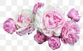 Peonies - Pink Flowers Desktop Wallpaper Clip Art PNG