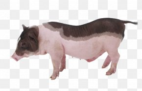 Melancholy Pet Pig - Miniature Pig Piglet Cuteness Grishuvud Pet PNG