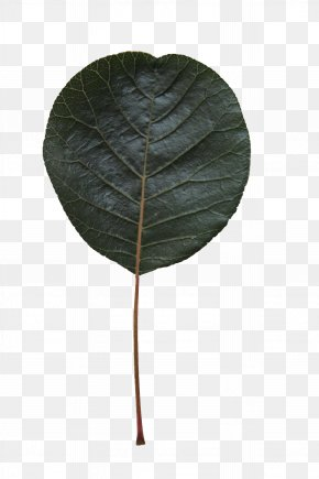 Terminalia Catappa Plant Stem - Leaf Green Plant Flower Tree PNG