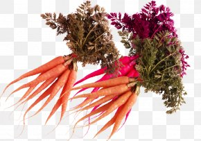 Fresh And Nutritious Carrot - Vegetable Nutrition And Health Carrot PNG
