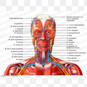 Skull - Head And Neck Anatomy Anterior Triangle Of The Neck Muscle Human Body PNG