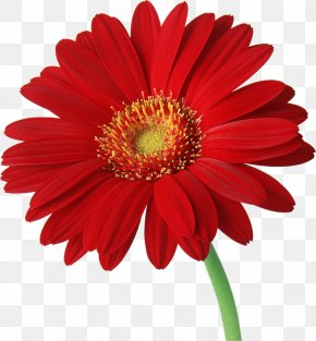 Gerbera Transparent Background - Transvaal Daisy Common Daisy Clip Art PNG