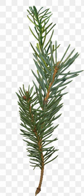 Fir-tree - Pine Fir Branch Spruce Tree PNG