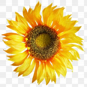 Sunflower - Common Sunflower Stock Photography Stock.xchng PNG