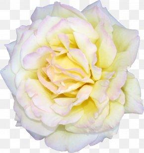 White Roses - Flower Centifolia Roses White Garden Roses Clip Art PNG