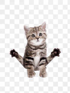 Yoga Kitten - Abyssinian Birman Kitten T-shirt Yoga Cats: The Purrfect Workout PNG