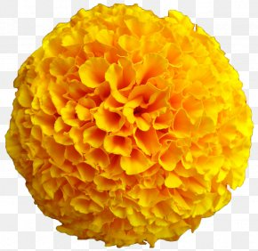 Big Flower Marigold - Mexican Marigold Flower Yellow Seed Calendula Officinalis PNG