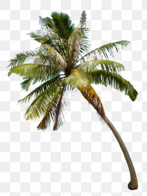 Maureen Ford Photography Attalea Speciosa Arecaceae Asian Palmyra Palm Photographer PNG