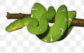 Green Snake Photos - Snake Reptile PNG
