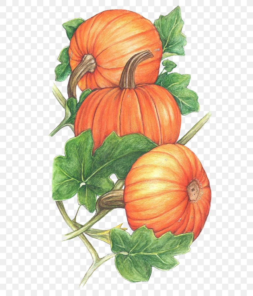 Pumpkin Cucurbita Vine Clip Art, PNG, 564x960px, Pumpkin, Autumn, Calabaza, Citrullus, Commodity Download Free
