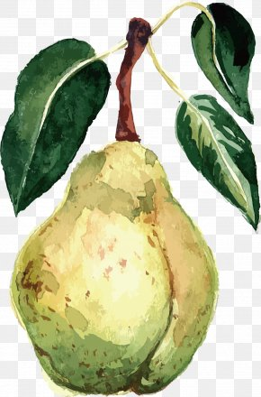 Watercolor Pear Vector - Pear Watercolor Painting Fruit Vector Packs PNG