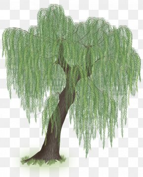 Willow Tree - Weeping Willow Tree Trunk Branch PNG