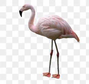 Flamingo - Bird American Flamingo PNG
