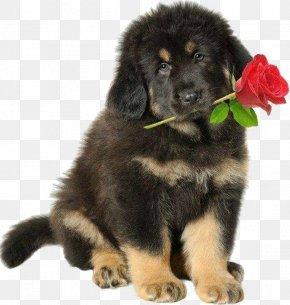 Tibetan Mastiff Giant Dog Breed - Dog Puppy Newfoundland Giant Dog Breed Tibetan Mastiff PNG