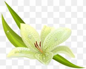 Amaryllis Flower Cliparts - Easter Lily Lilium Bulbiferum Flower Stock Photography PNG