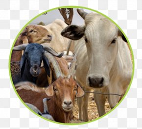 Goat - White Fulani Cattle Red Fulani Cattle Goat Fula People Livestock PNG