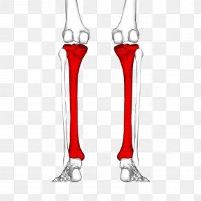 Skeleton - Tibia Human Skeleton Fibula Joint Bone PNG