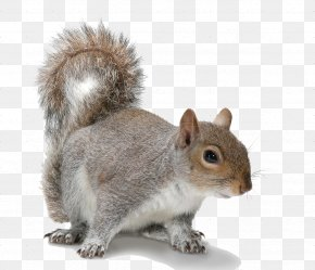 Squirrel Transparent Images - Douglas Squirrel Rodent American Red Squirrel Eastern Gray Squirrel PNG