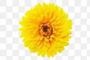 Calendula Flowers PNG