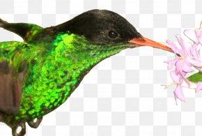 Macaw - Hummingbird Jamaica Red-billed Streamertail National Symbol PNG