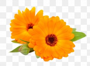 Flower - Calendula Officinalis Flower Chrysanthemum PNG
