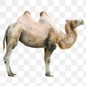 Giraffe - Okapi Giraffe Bactrian Camel Rhinoceros Zebra PNG