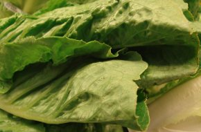 Lettuce - Romaine Lettuce 2011 Germany E. Coli O104:H4 Outbreak Vegetarian Cuisine Leaf Vegetable PNG