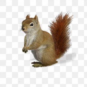 Squirrel - Fox Squirrel Chipmunk Brown Bear PNG