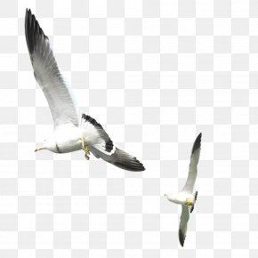 Flying Seagull - Gulls Bird PNG