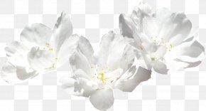 Flower - Cut Flowers Chrysanthemum Common Sunflower Transvaal Daisy PNG