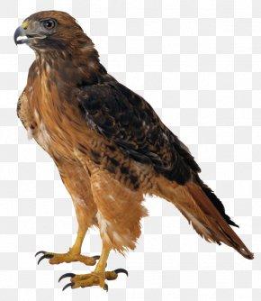 Hawk Picture - Eagle Clip Art PNG