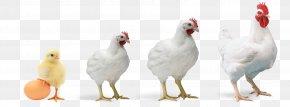 Rooster Fowl - Bird White Chicken Beak Livestock PNG