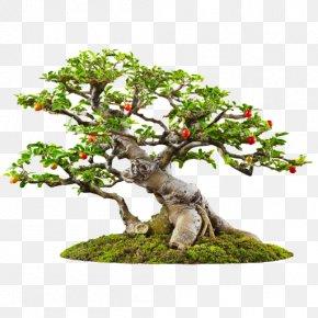 Bonsai - Banyan Bonsai Tree Garden PNG
