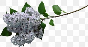 White Lilac - Lilac Clip Art PNG