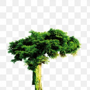 Tree - Tree Forest Evergreen PNG