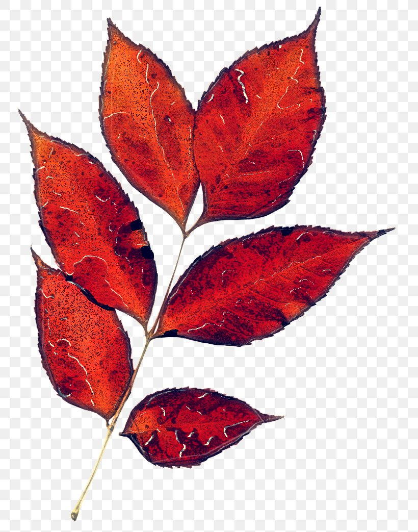Leaf Tree Plant Red Flower, PNG, 766x1043px, Leaf, Beech, Deciduous, Flower, Flowering Plant Download Free