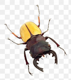 Bug - Japanese Rhinoceros Beetle PNG
