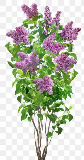 Lilac - Flower Lilac PNG